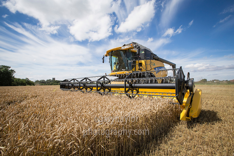 Harvesting winter wheat - Lincolnshire