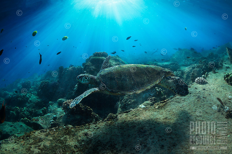 A morning dive and snorkel under sunrays with a green sea turtle, Hawai'i.