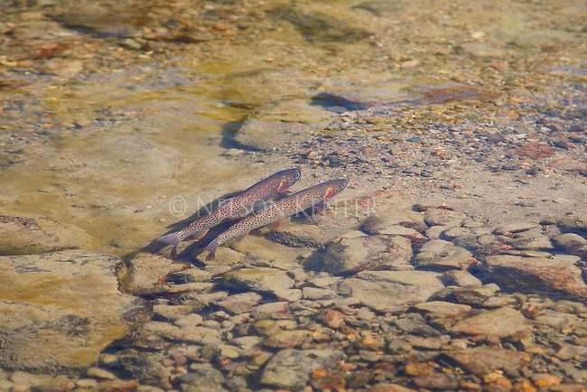 Two cutthroat trout in outlet stream below cloverleaf lakes in the Beartooth wilderness in Montana