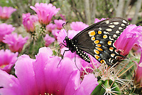 Black Swallowtail (Papilio polyxenes), male feeding on Strawberry Hedgehog Cactus (Echinocereus enneacanthus), Laredo, Webb County, South Texas, USA