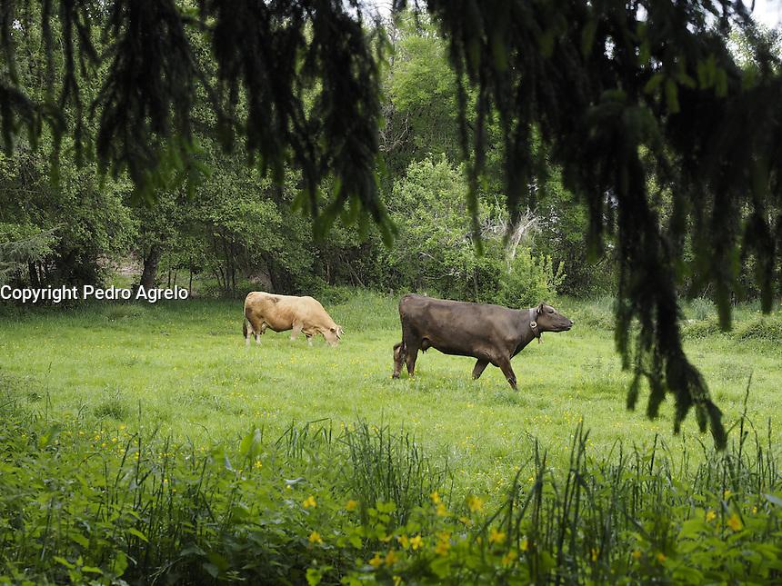 Dos vacas en un prado
