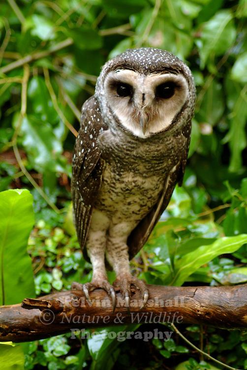Lesser Sooty-owl (Tyto multipunctata)