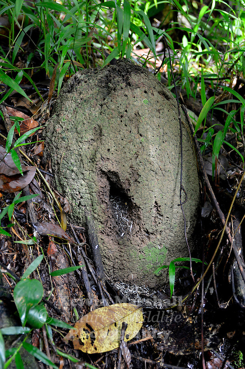 A view of a rainforest termite mound of the species Microcerotermes serratus. Which is used by the Buff-breasted Paradise-Kingfisher (Tanysiptera Sylvia) Daintree - Far - North Queensland.
