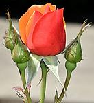 Serious Roses