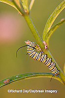 03536-04803 Monarch (Danaus plexippus) caterpillar on Swamp Milkweed (Asclepias incarnata) Marion Co. IL