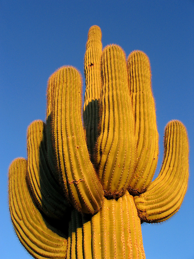 AJ Alexander - The magnficent Saguaro Cactus, Carnegiea gigantea-(Cereus giganteus) symbol of the Desert Southwest..Photo by AJ Alexander