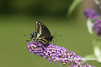 03009-01920 Black Swallowtail (Papilio polyxenes) male on Butterfly Bush (Buddleja davidii) Marion Co. IL