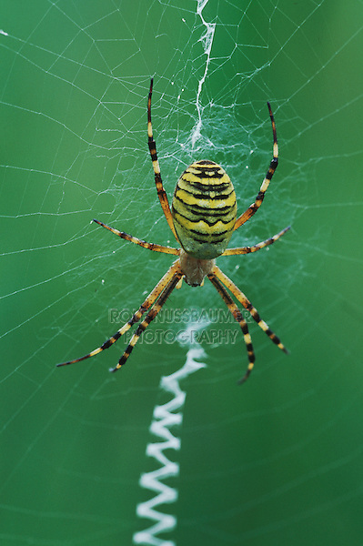 Wasp Spider (Argiope bruennichi), adult in web, Switzerland