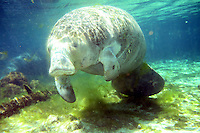 "MARCH 24, 2006; CRYSTAL RIVER, FLORIDA; USA; A West Indian Manatee swims in the waters of Three Sisters Springs in Crystal River, Florida. The Florida Fish and Wildlife Conservation Commission voted on June 7, 2006, to remove the manatee from Florida's endangered species list and reclassify the mammal as ""threatened"". Conservationists objected to the move because of fears that funding for manatee programs will be cut and that current protections will be lessened due to the reclassification. Photo by Matt May"