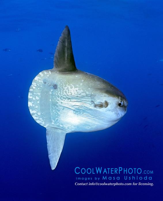 ocean sunfish, Mola mola, offshore, San Diego, California, USA, Paficic Ocean