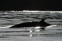 Minke Whale (Balaenoptera acutorostrata) in Haro Strait off San Juan Island, Washington, USA.