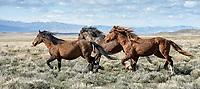 Desert Wind. Wild Horses in Utah's West Desert