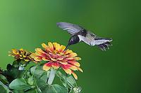 Black-chinned Hummingbird (Archilochus alexandri), Sinton, Corpus Christi, Coastal Bend, Texas, USA