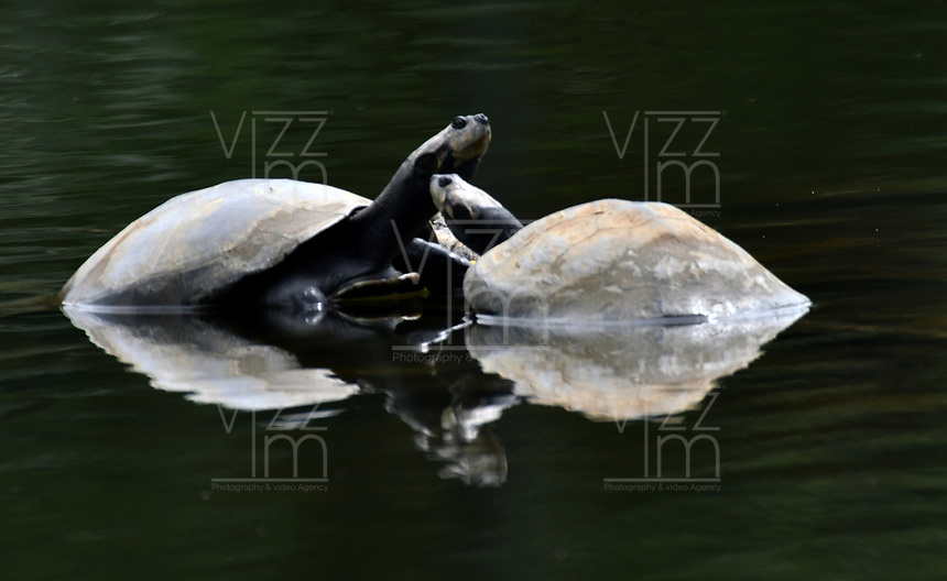 CALI - COLOMBIA - 20 - 06 - 2017 Tortuga de Agua, Reptil, especie de reptil muy común en el Parque de las Garzas en la ciudad de Cali, (Pance), en el Valle del Cauca, Colombia. / Tortuga de Agua, Reptile, a very common reptile species in the Parque de las Garzas in Cali city, (Pance), in the Valle del Cauca, Colombia. / Photo: VizzorImage / Luis Ramirez / Staff.