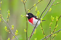 Male Rose-breasted Grosbeak (Pheucticus ludovicianus)