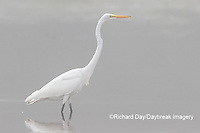 00688-02220 Great Egret (Ardea alba) in wetland in fog, Marion Co., IL