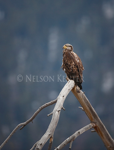 Golden Eagle perched in a dead tree