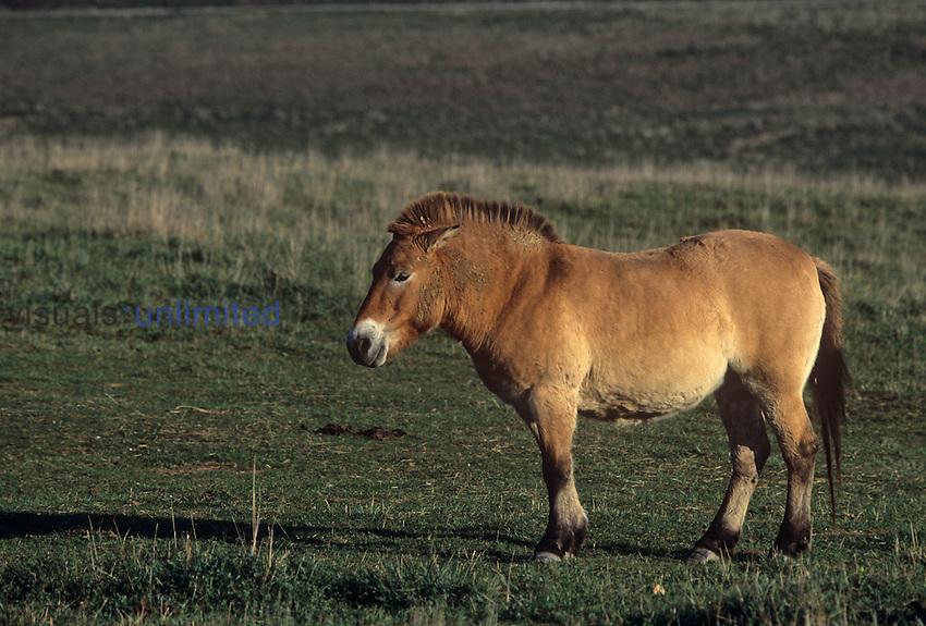 Przewalski's wild horse (Equus przewalskii), now extinct in the wild.