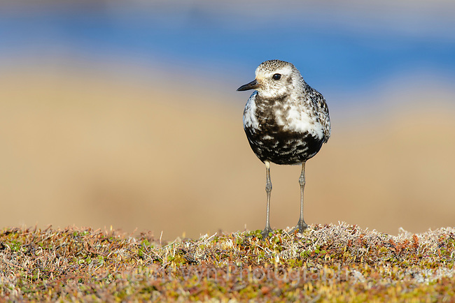 Female Black-bellied Plover (Pluvialis squatarola) in breeding plumage. Yukon Delta National Wildlife Refuge, Alaska. June.