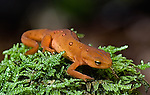 A red eft on a mossy perch.