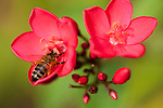Rakiraki, Viti Levu, Fiji; a honeybee searches for nectar in a pair of symmetrical red flowers