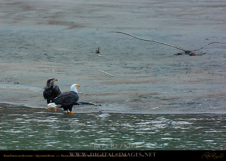 Bald Eagle and Juvenile, Squamish River, Brackendale Eagles Provincial Park, Vancouver, British Columbia