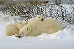 Photo: 19544..Canadas polar bear country around Churchill, Manitoba, at Gordon Point and nearby at Cape Churchill in Wapusk National Park on the south edge of Hudson Bay.  Photos of polar bears males, females, and cubs.  Fauna includes polar bears, arctic hares, and arctic foxes.  Landscapes of the tundra terrain and ice forming on Hudson Bay, plus sunrises and sunsets.  Polar bear viewing in Tundra Buggies while staying at the Tundra Buggy Lodge, operated by Frontiers North.  Photo copyright Lee Foster, 510-549-2202, lee@fostertravel.com, www.fostertravel.com.