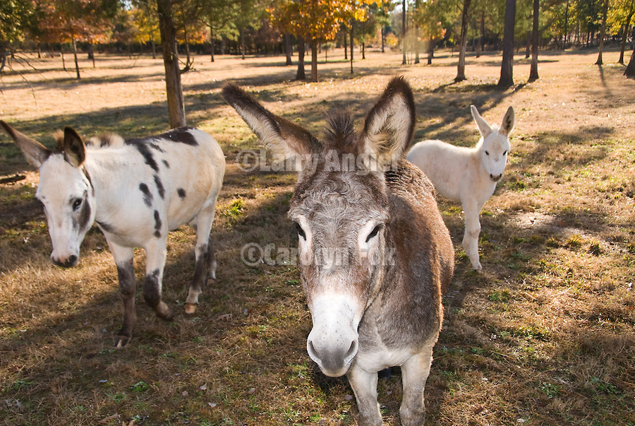 Jackass family with painted burro, gray burro and baby white burro in a field with trees, South Carolina.