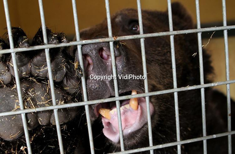 Foto: VidiPhoto..RHENEN - In Ouwehands Dierenpark in Rhenen worden maandag de gebitten van twee beren hersteld. De dieren die jarenlang opgesloten hebben gezeten in een betonnen hok in Spanje, hebben eerst enkele maanden in quarentaine gezeten nadat ze door berenstichting Alertis waren bevrijd. Voordat ze het Berenbos in mogen, moet eerst de tandarts aan de slag met de enorm slechte gebitten. De behandeling gebeurt onder narcose. Foto: Ook beren zijn bang voor de tandarts.