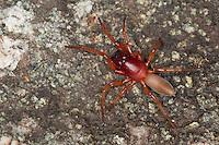 Großer Asseljäger, Asselspinne, Dysdera crocata, syn. Dysdera rubicunda, woodlouse spider, woodlouse hunter, sowbug hunter, sowbug killer, pillbug hunter, slater spider, Sechsaugenspinne, Sechsaugenspinnen, Sechsauge, Sechsaugen, Dysderidae, woodlouse hunters, sowbug-eating spiders, cell spiders, Korsika