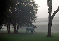 Saratoga. Saratoga Race Course, Saratoga Racetrack, beautiful horse racing, Thoroughbred racing, horse, equine, racehorse, morning mood