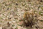 Tola (Parastrephia lepidophylla) shrub burnt to scare away predators, Abra Granada, Andes, northwestern Argentina
