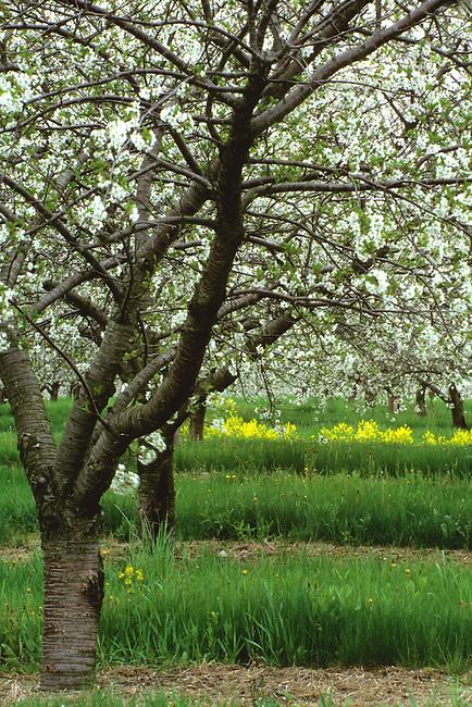 Spring brings Cherry Bloosoms in Egg Harbors Orchards, Door County, Wisconsin.