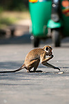 A Toque Macaque risks the traffic to collect rice spilt from a padi truck. Polonnaruwa, Sri Lanka. IUCN Red List Classification: Endangered
