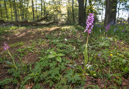 Early Purple Orchid - Orchis mascula, Stoke Woods, Bicester, Oxfordshire owned by the Woodland Trust
