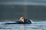 Sea Otter (Enhydra lutris) mother and pup feeding on clam, Elkhorn Slough, Monterey Bay, California