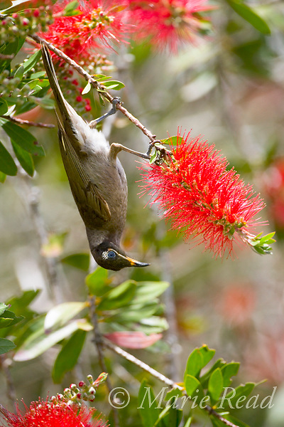 Bridled Honeyeater (Lichenostomus frenatus) hanging upside down to feed from bottlebrush flowers, Atherton Tableland, Queensland, Australia