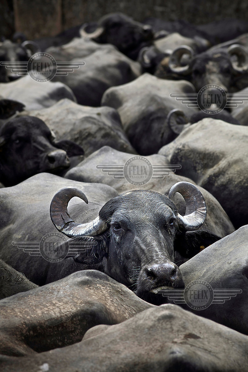Water buffalo in the Sabana de Torres municipality in the Magdalena River valley in Santander Department. The buffalo are principally reared for their milk.