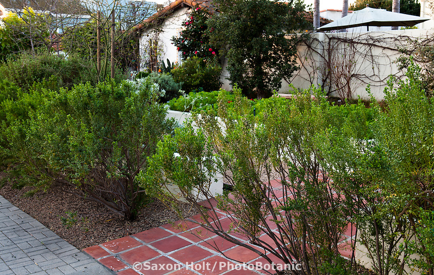 Southern California front yard native plant garden with Coyote Bush (Baccharis pilularis) hedge by entry walk