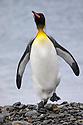 King Penguin (Mirounga leonina) Jason Harbour, South Georgia. November.