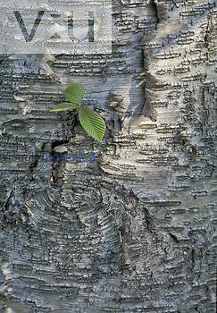 Yellow Birch bark (Betula lutea), North America.