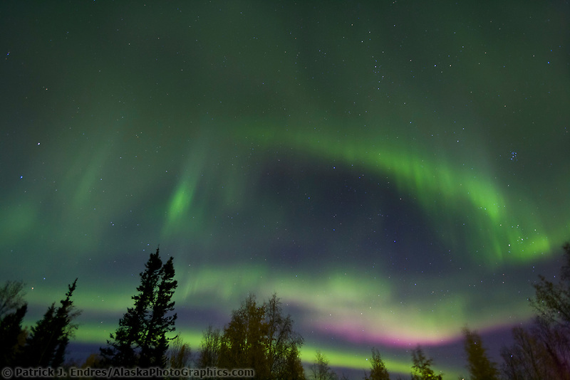 Aurora borealis or northern lights swirl over spruce and birch trees in Fairbanks, Alaska