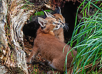 "Caracal Kittens (Caracal caracal)--these cubs are about 6 weeks old.  The word ""Caracal"" comes from the Turkish word ""karakulak"" which means ""black ear.""  Found in Africa through Central Asia and India."