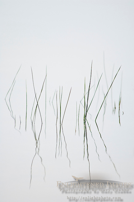 Small reeds in water on a foggy morning, Big Lagoon, Humboldt Lagoons State Park, California