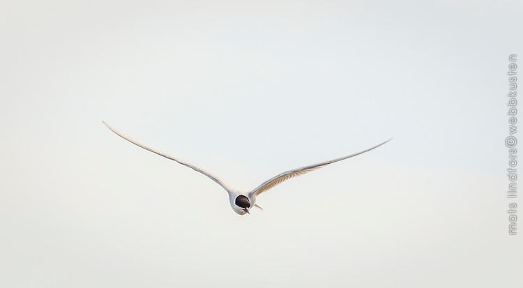 Silvertärna i luften mot ljus himmel flyger nära med utbredda vingar