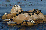 harbor seals and cormorants on rock near Cannery Row in Monterey