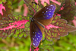 Striped Blue Crow ( Euploea mulciber mulciber)