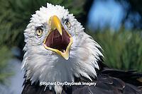00807-02716 Bald Eagle (Haliaeetus leucocephalus) screaming in pine tree   CO