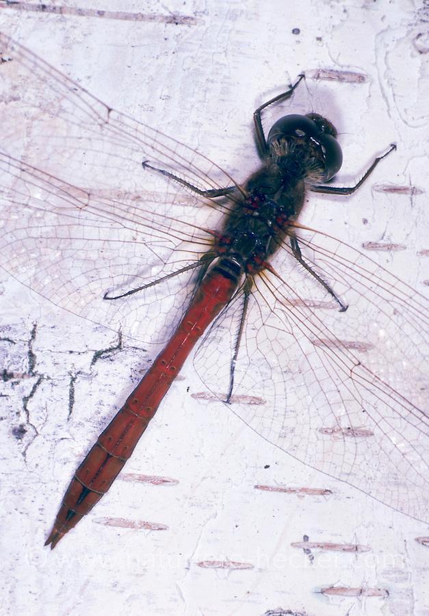 Gemeine Heidelibelle, Männchen, Sympetrum vulgatum, Vagrant Darter, Moustached Darter, Segellibellen, Libellulidae, skimmers, perchers
