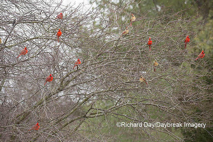 01530-22520 Northern Cardinal (Cardinalis cardinalis) males and female in bush in winter Marion Co., IL